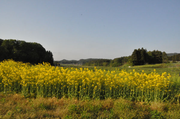 放射能汚染を嘲笑うかのようにカブレナが真っ黄色の花を咲かせていた(24日、飯舘村。写真:筆者撮影)