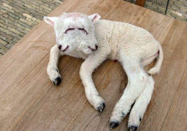 クイッラ村で生まれた双頭の羊。劣化ウランの影響と見られている。 (地元紙『LA・NUOVA・SARDEGNA』提供)