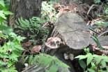 飯舘村の山林に自生するキノコ。放射性物質が濃縮されている。福島県が「除染の拠点」になっても食べることはできない。=写真:筆者撮影=